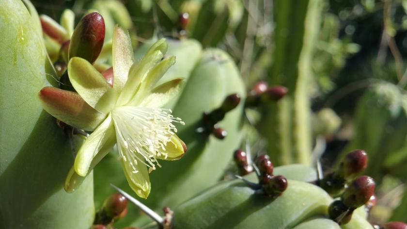 Myrtillocactus geometrizans Mart. ex Pfeiff.) Console