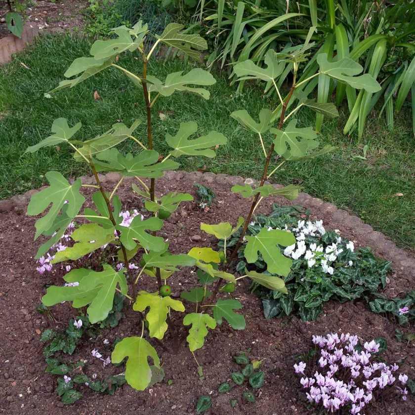 "Ficus cariaca ""Brown Turkey"""